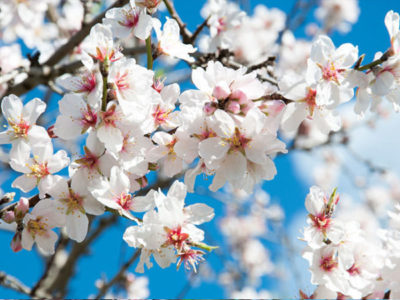 Experience the phenomenon of the almond tree blossom with our taxis in Mallorca